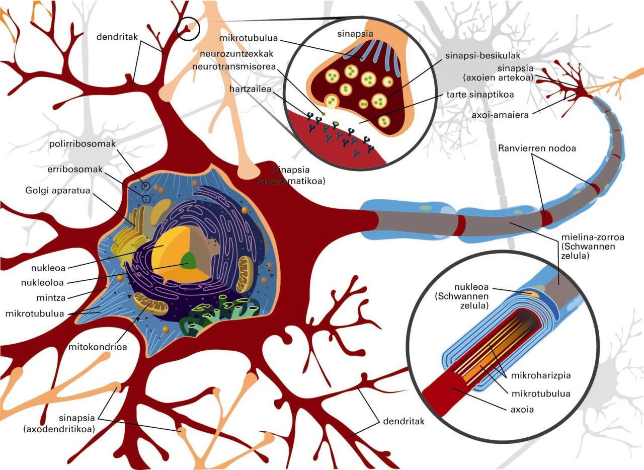 Neuronaren anatomia